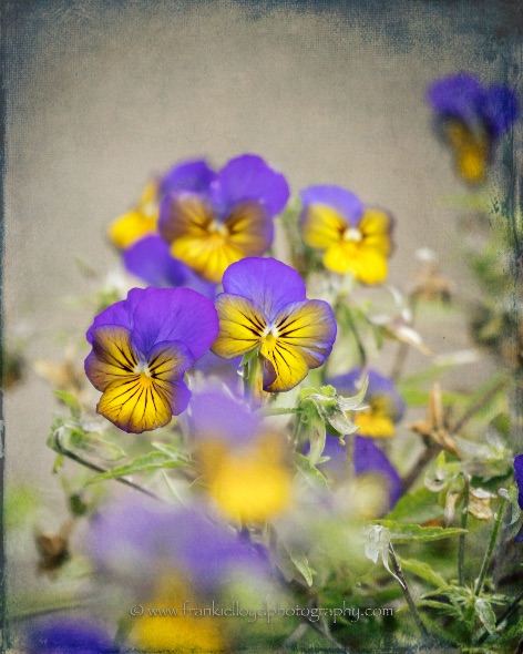 Pansies-yellow-and-blue