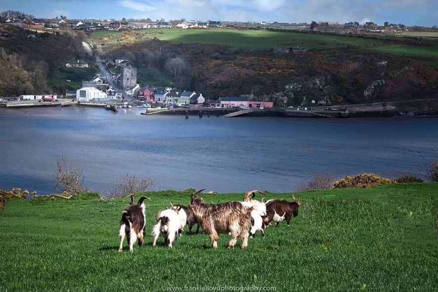 Passage-Goats-looking-to-Ballyhack