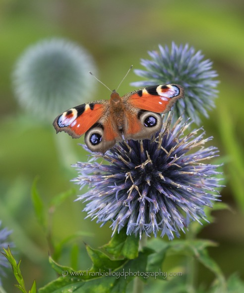Peacock-on-thistle
