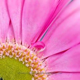 Pink-Daisy2