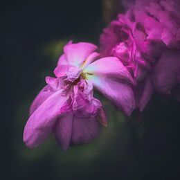 Pink-Decaying-flower