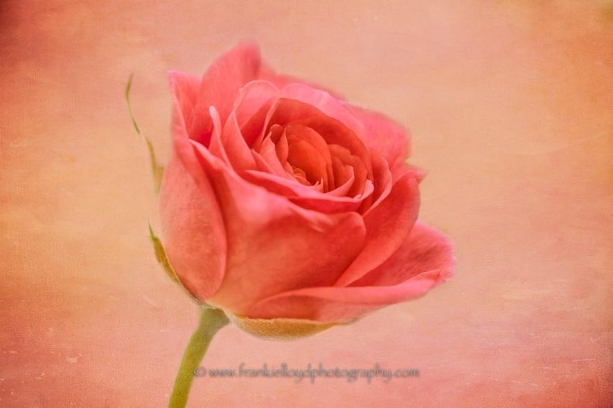 Pink-Rose-tex