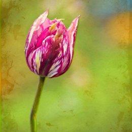 Pink-Tulip-filter Textured