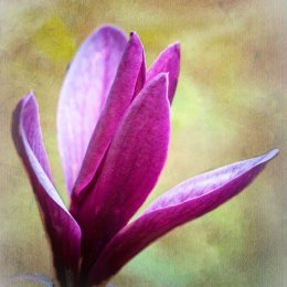 Purple-Magnolia-Textured