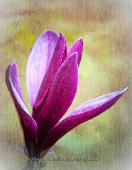 Purple-Magnolia