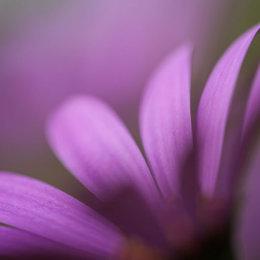 Purple-Petals