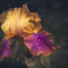 Purple-and-Gold-Iris-Tourin