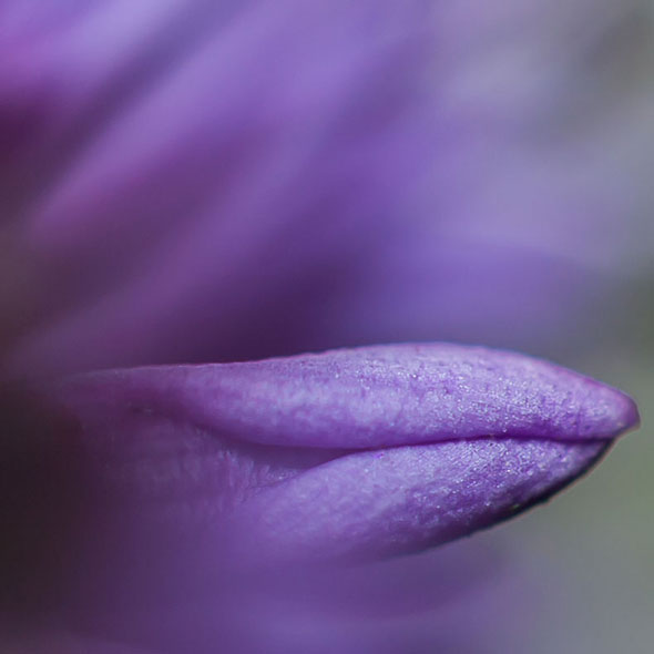 Purple-flower-leaf