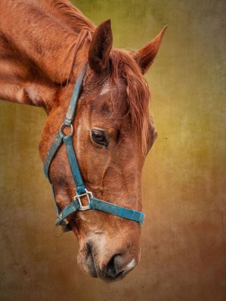 Racehorse-head-1