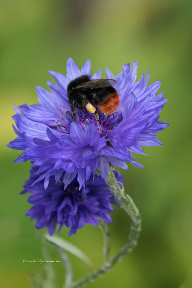 Red-Arsed-Bumble-Bee