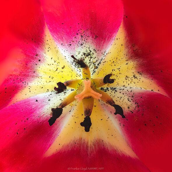 Red-Tulip-Centre-20x20