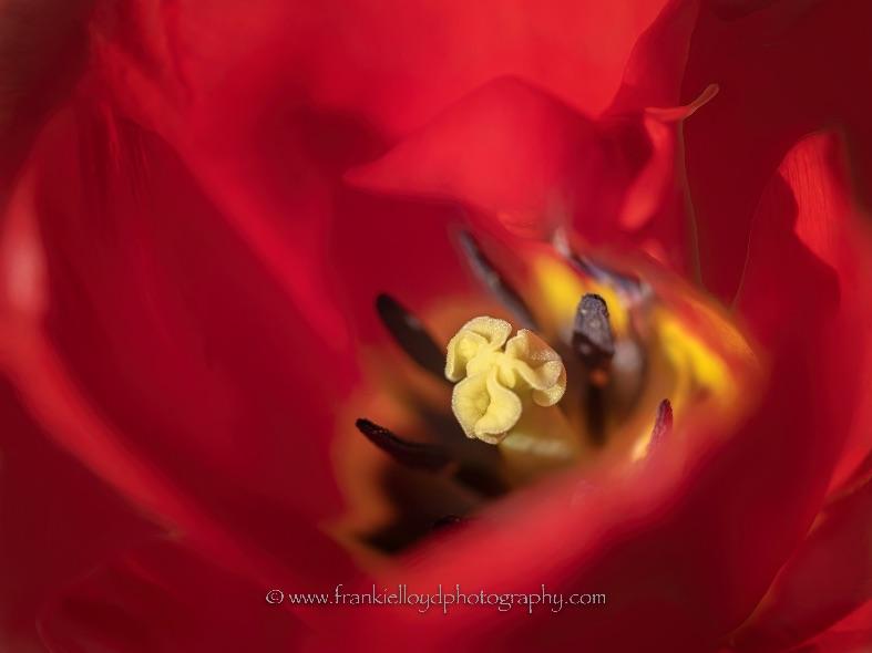 Red-Tulip-Centre