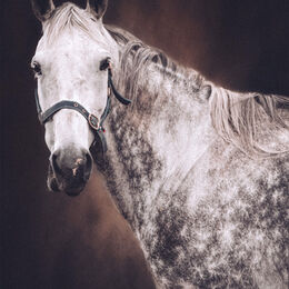 Ring-Grey-Horse-portrait