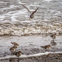 Ring-ed-Plover-flying-over-Knots