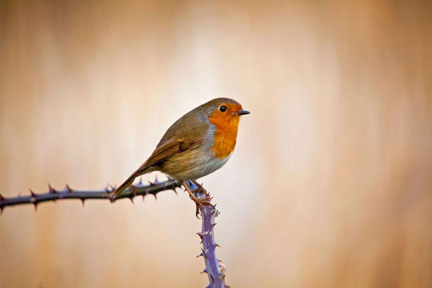 Robin-wexford