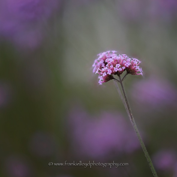 Roundabout-tall-pink-flower