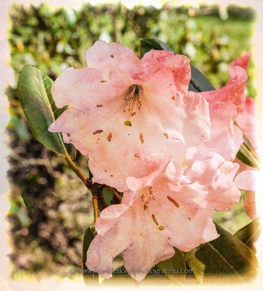 Salterbridge-Pink
