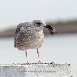 Seagull with crab background