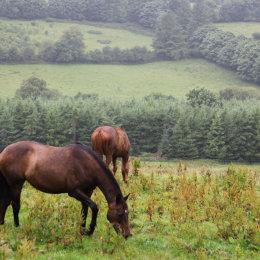 Sheehan's-Horses
