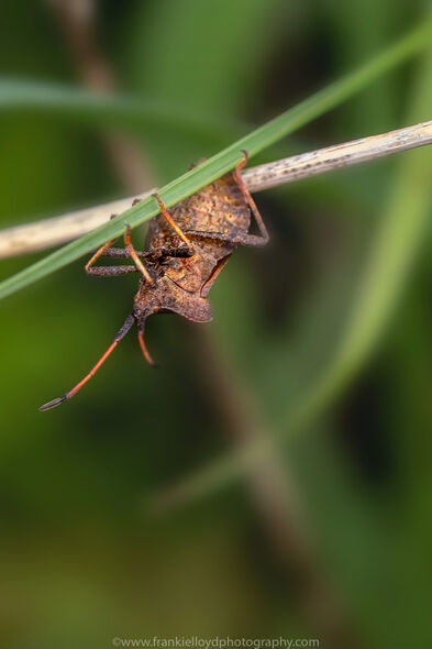 Shield-Bug