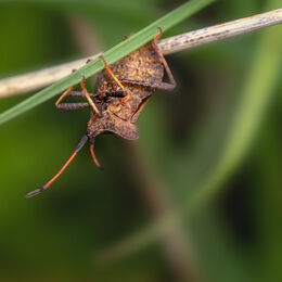 Shield-Bug