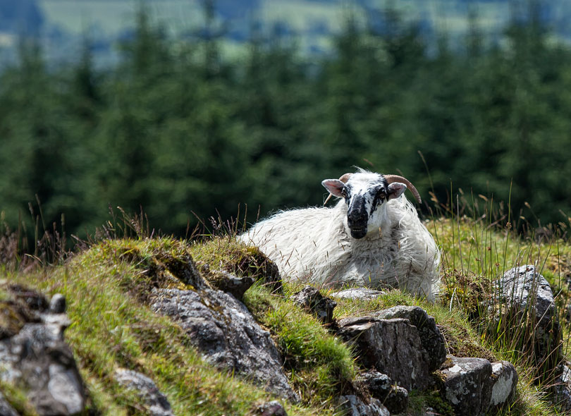 Single-Sheep