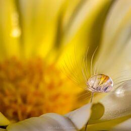 Single-drop-on-golden-flower