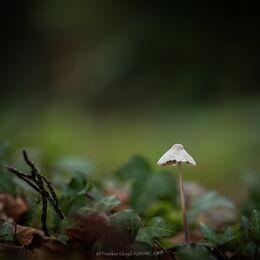 Single-fungi-in-Ivy-12x8
