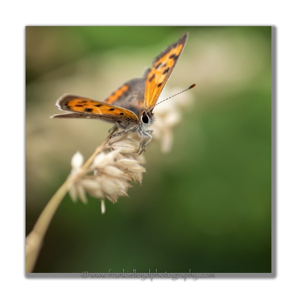 Small-Copper-