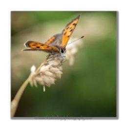 Small-Copper-