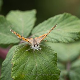 Small-Copper-facing