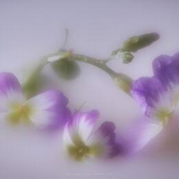 Small-garden-flower-3-petals