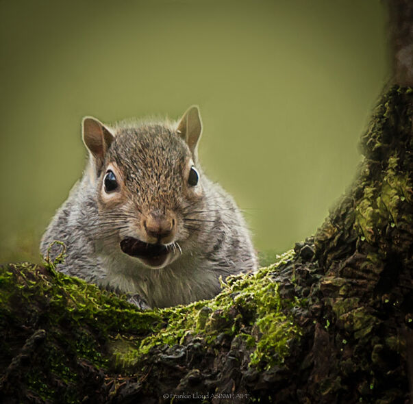 Squirell-with-Acorn
