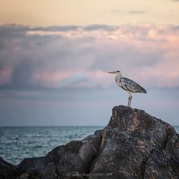 St.-Helens-Heron-tkd