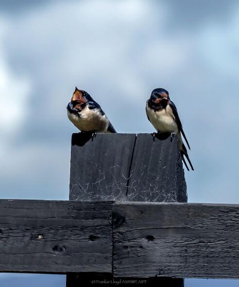 Swallows-on-Post-Helvic