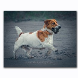 Theo-Jack Russell