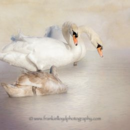 Three-Swans-Annestown