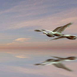 Three whoopers-reflection