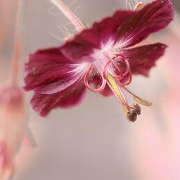 Tiny-Maroon-Flower-light-background