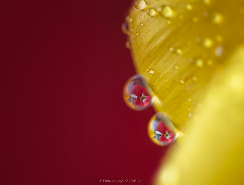 Two-Water-droplets-on-yellow-tulip