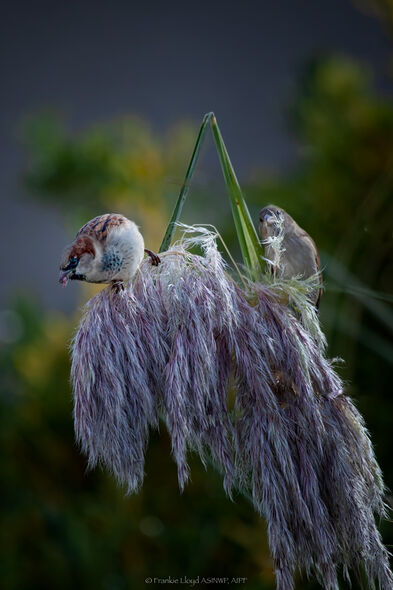 Two-sparrows-on-pampas-grass