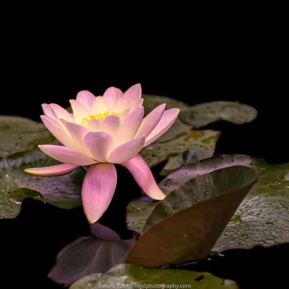 Waterlily-2020