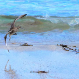 Whimbrel-Pastel