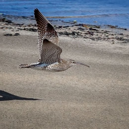 Whimbrel-in-Flight-Ballinclamper