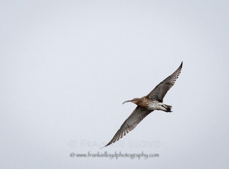 Whimbrel in flight