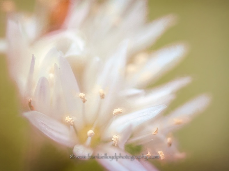 White-Lilly-open-stamens