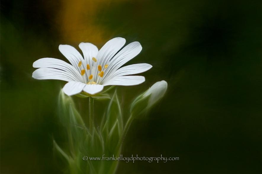 White-flower-yellow-stamens