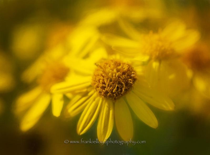 Yellow-Daisy-Jamiesons