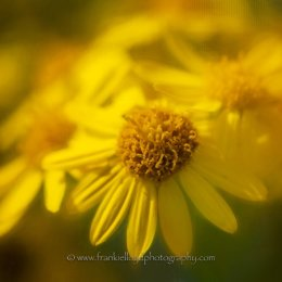 Yellow-Daisy-Jamiesons