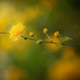 Yellow-flower-Chavesses